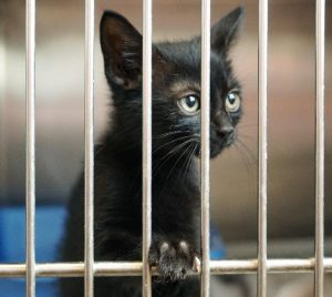 FIV: To Vaccinate or Not to Vaccinate?
