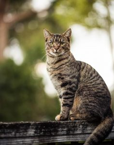 Should FIV-Positive Feral Cats Be Released After TNR?